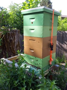 How the overwintered nuc hive looked by June