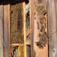 Non-Invasive Trap-Out of Honeybee Colonies or Invasive Removal as needed