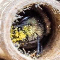 Working With Mason & Leafcutter Bees